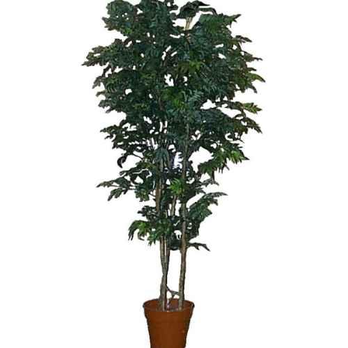 PLA008 Aralia Tree 1