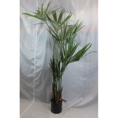 PLA013B Areca Palm 1