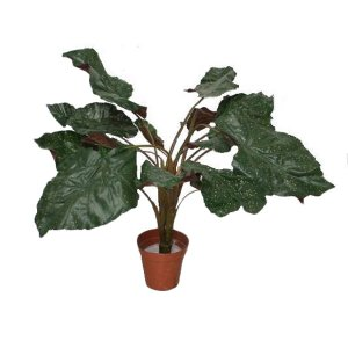 PLA030 Begonia Angel Wing Plant