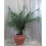 PLA020 Japanese Palm Bush 2m