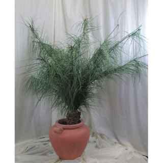 PLA020 Japanese Palm Bush 2m