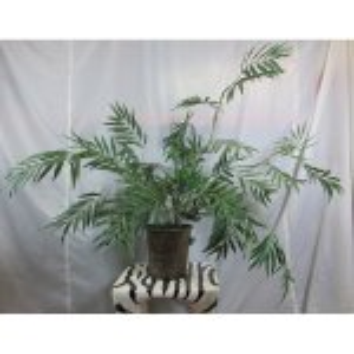 PLA001 Phoenix Palm 1