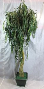 PLA007 BWeeping Willow