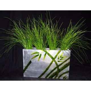 PLA103A Onion Grass in Planter
