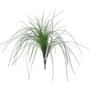 PLA042 Onion Grass