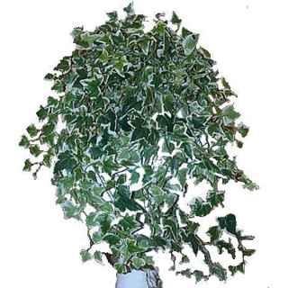 PLA037 Varigated Ivy Trail 1