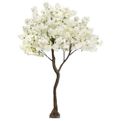 Cream cherry standard tree web
