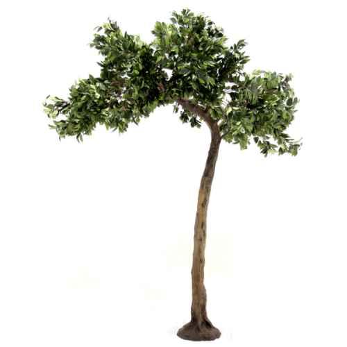 Ficus half canopy tree