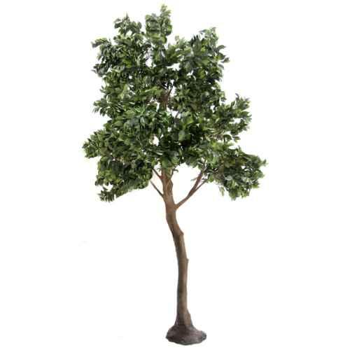 PLA667 Ficus Standard Tree
